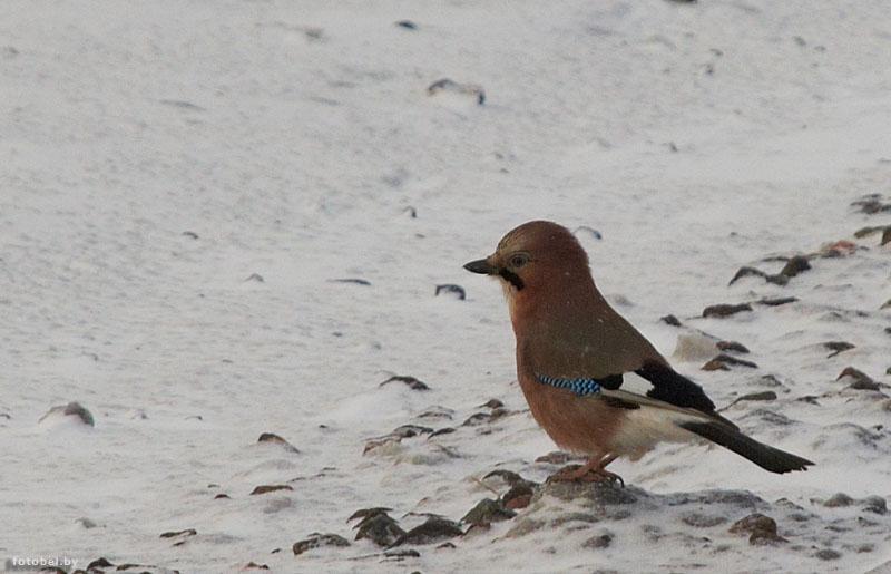 птиц беларуси с названиями
